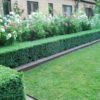 boxwood-hedge-in-garden-with-perennials-700×418